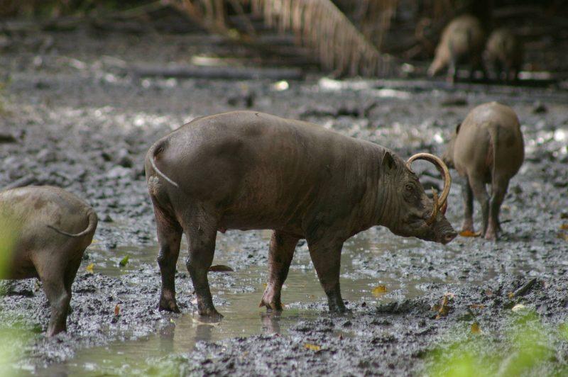 Fauna Babi Rusa