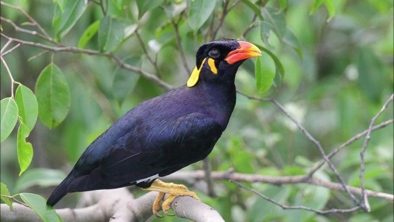 Burung Beo Nias
