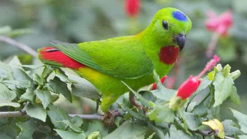 Burung Serindit