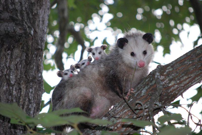 Oposum
